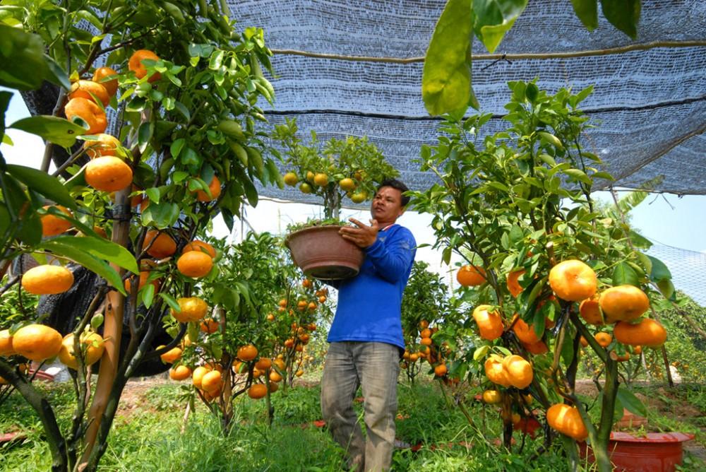 Quýt kiểng trồng chậu chưng Tết hút hàng, giá cao