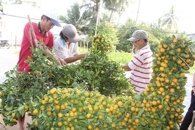 Quất cảnh bonsai hút người mua chưng Tết Mậu Tuất 2018