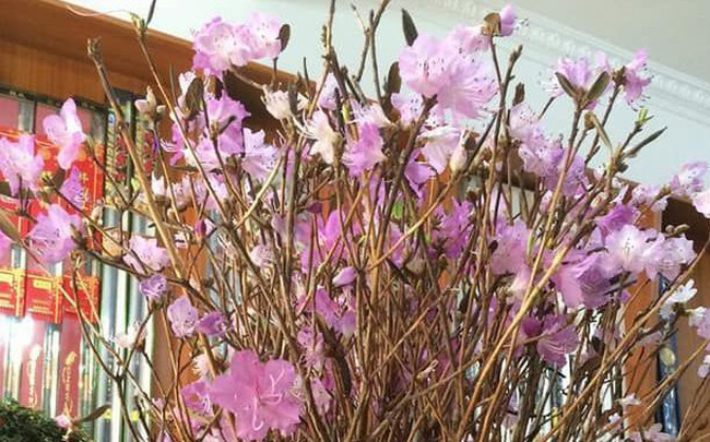 Sự thật về hoa đỗ quyên ngủ đông -