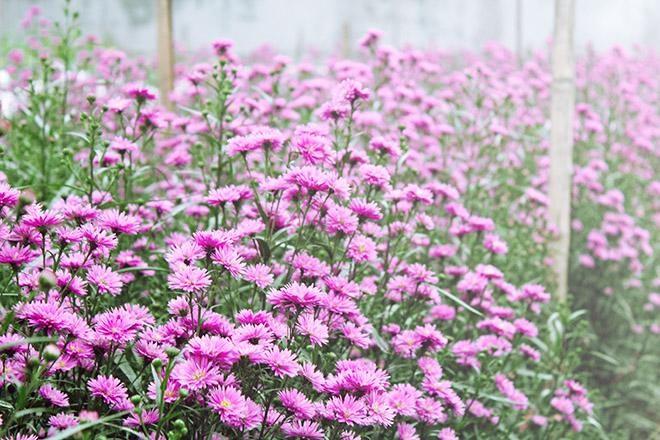 Vườn hoa thạch thảo tại Vũng Tàu