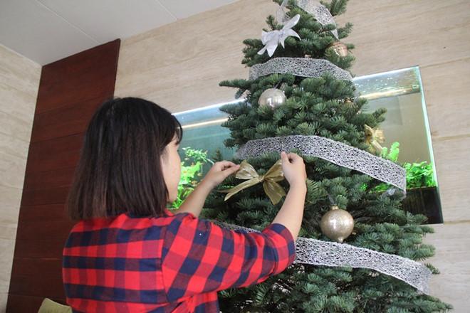 Thông thật nhập khẩu, cây tùng tươi đắt khách dịp Giáng sinh